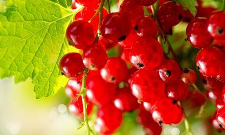 Piros ribizli – a fanyar vitaminbomba!