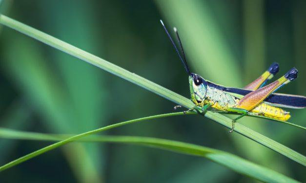 Az ehető rovarok gazdagok antioxidánsokban